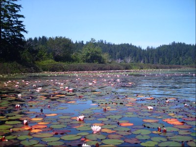 lillypads on ozette