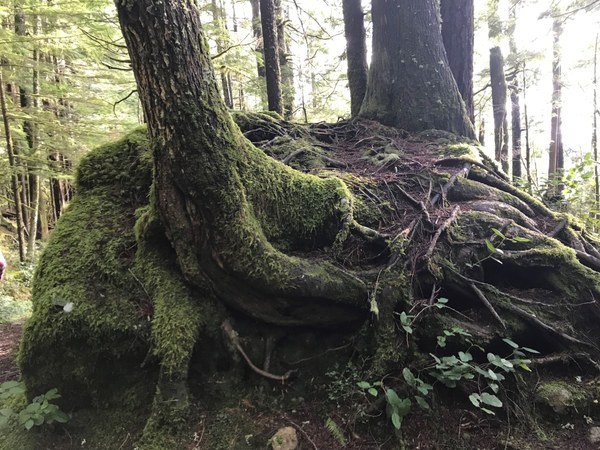Interesting tree with roots on a boulder
