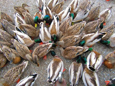 Mallards Galore