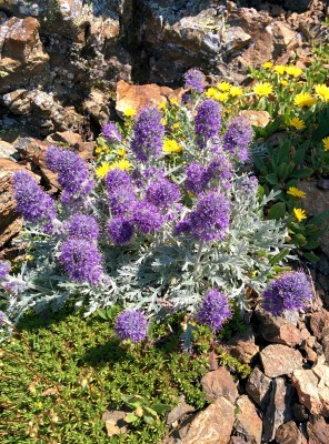 Rare silky phacelia on top of Tomyhoi peak.