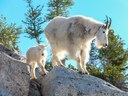 Conservation Currents   A New Home for Our Goats: The Mountain Goat Translocation Plan