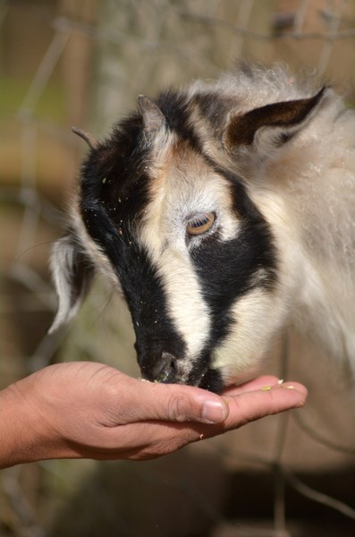 Always a good reason to look at pictures of goats