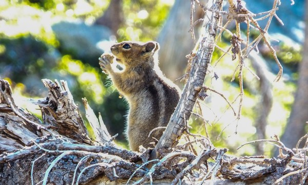A chipmunk having a snack in the Enchantments. Photo by Ida Vincent. 2.jpg