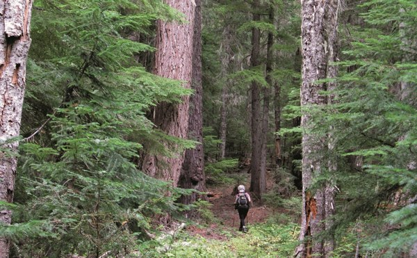 A hiker is dwarfed by towering trees in the Waldo Lake Wilderness along the Black Creek Trail - LeGue - cropped.jpg