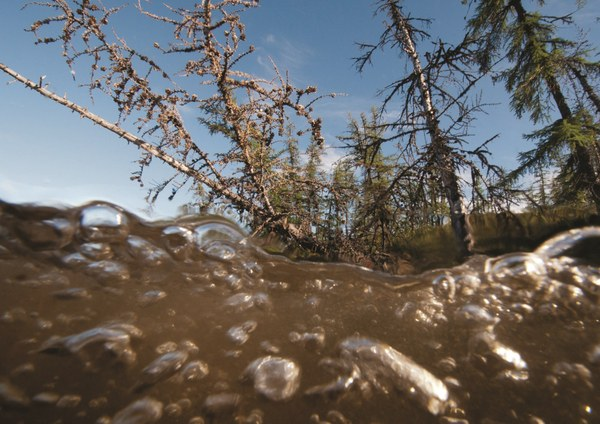 As the formerly firm permafrost soil beneath them thaws, larch trees fall into a Siberian lake while methane bubbles up from the lake's bottom p56.jpg