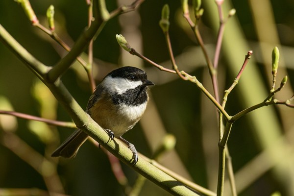 Black-capped Chickadee-Seward Park-Seattle-1131.jpg