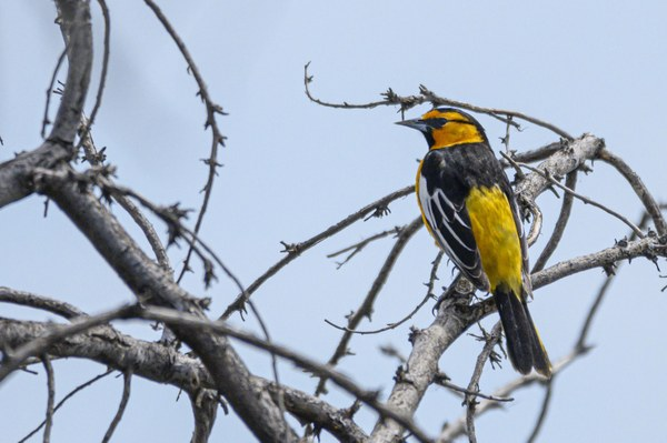 Bullock's Oriole-Moses Lake Conference-Central Washington-9570.jpg