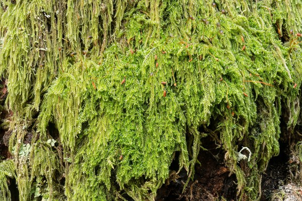 Coiled-leaf moss-Tiger Mountain #3-Issaquah--2.jpg