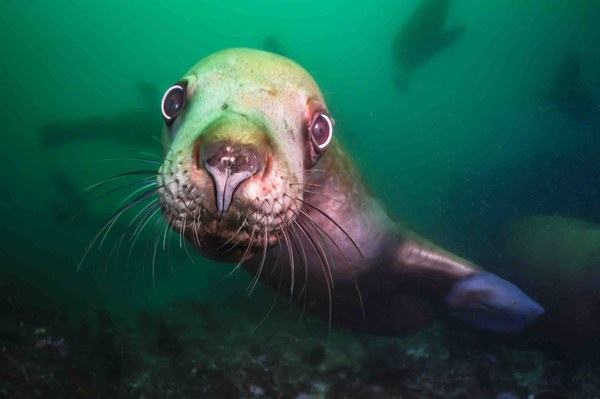 Collins_Stellar Sea Lion_lowres.jpg