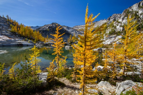 Larches in the Enchantments. Photo by Ida Vincent. .jpg