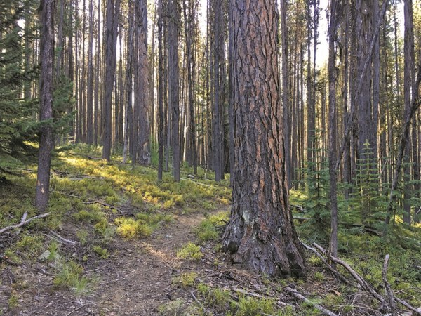 Mixed - Lodgepole pines are mixed with giant larch trees along the South Fork Desolation Creek Trail - LeGue.jpg