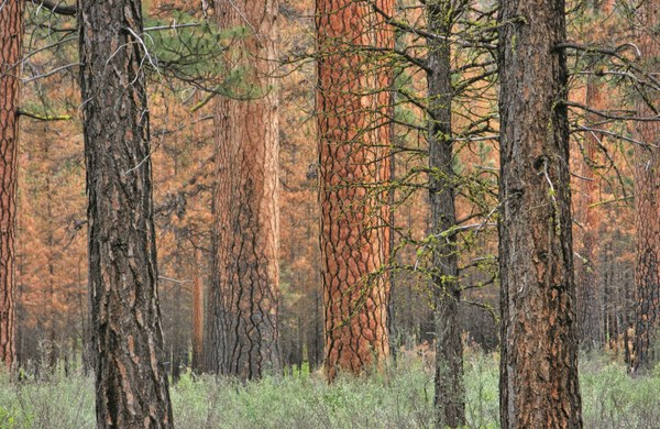 Ponderosa - A forest of ponderosa pines lines the spectacular Wild and Scenic Metolius River - Brizz Meddings.jpg