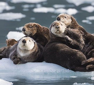 Sea Otters-HughRose