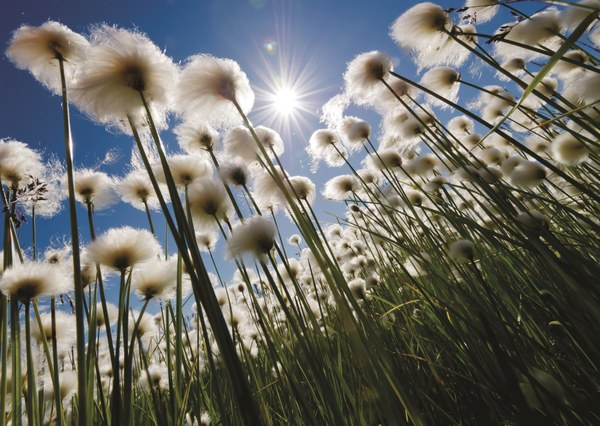 The sun shines through the cottongrass on a windy day near Cherskiy p159.jpg