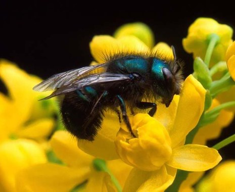 Mason Bees: Raising Beneficial Pollinators — The Mountaineers
