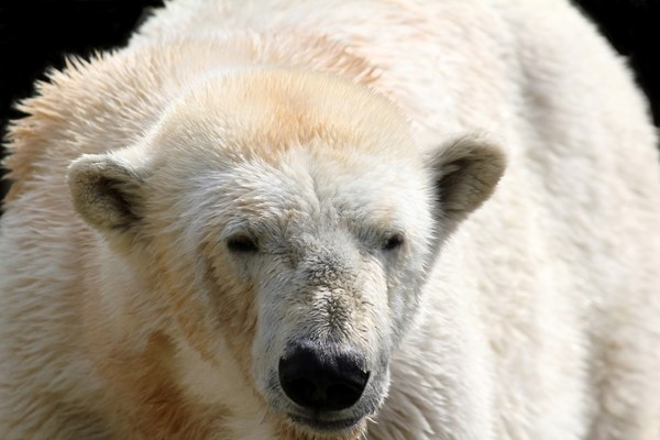 012869721-polar-white-bearjpg.jpeg