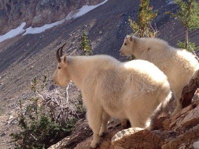 Mountain Goat Management in Olympics and North Cascades