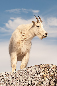 mountain-goat-tiny.jpg